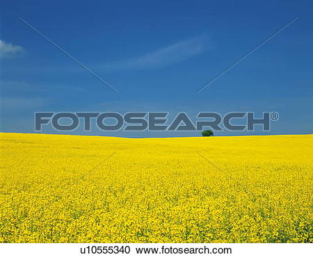 Stock Photography of Oilseed rape field, Champagne, France.