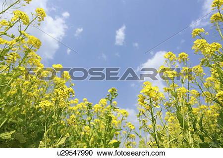 Stock Photography of Oilseed rape u29547990.