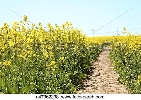 Stock Illustration of Path in an oilseed rape field u47962238.