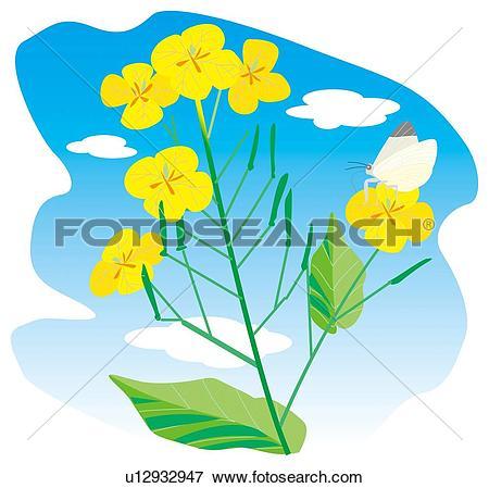 Stock Illustration of Flowering oilseed rape u12932947.