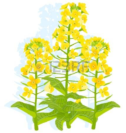 56 Oilseed Stock Vector Illustration And Royalty Free Oilseed Clipart.