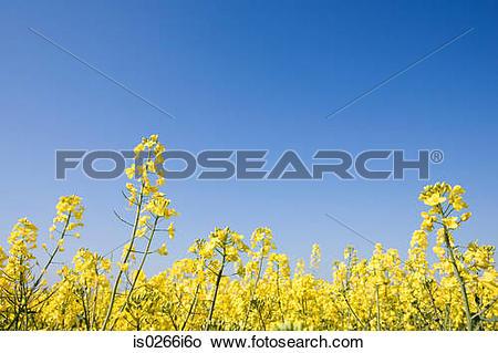Stock Photo of Oilseed rape in field is0266i6o.