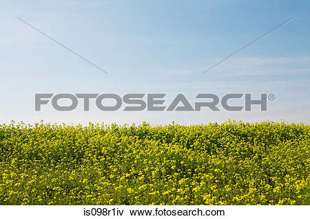 Picture of Field of oilseed rape is098r1iv.