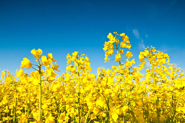 Oilseed Rape Pictures, Images and Stock Photos.
