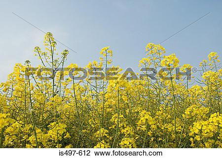 Stock Photo of Oilseed rape plant is497.
