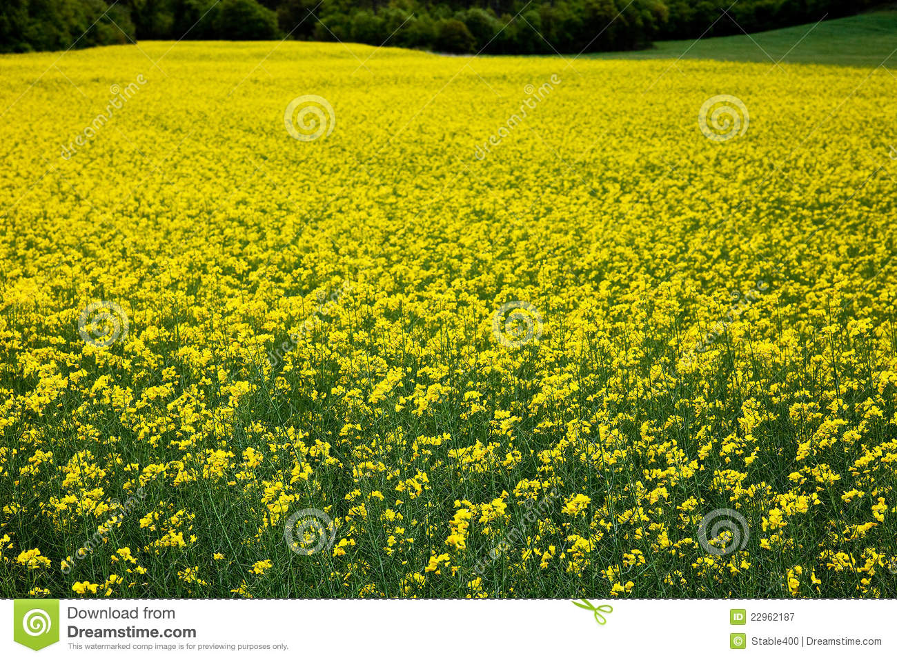 Oilseed Rape Plants Royalty Free Stock Photography.