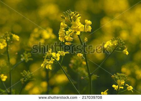 Oilseed Rape Stock Photos, Royalty.