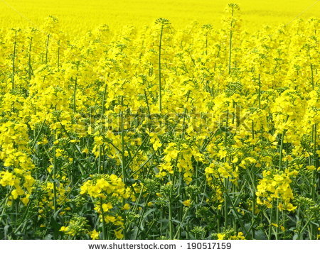 Oilseed Rape Stock Photos, Royalty.