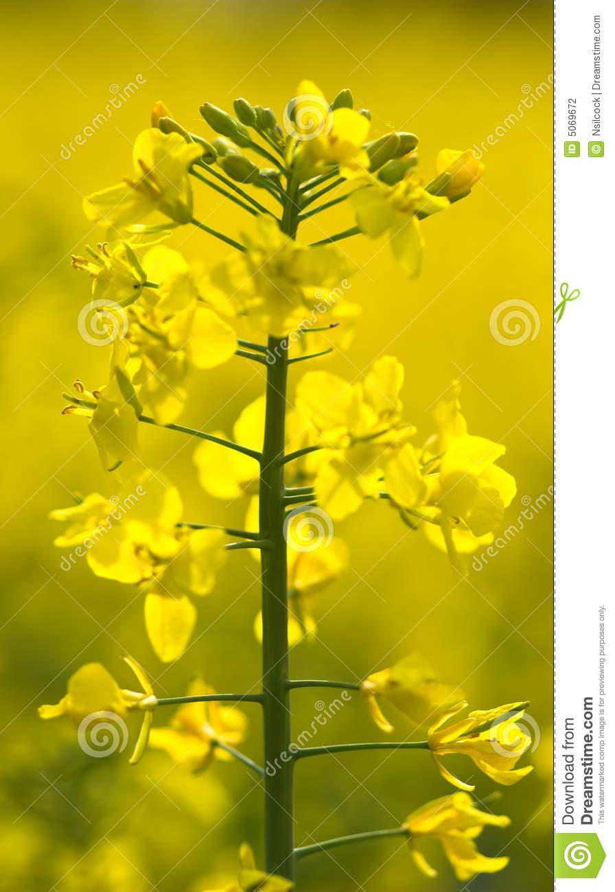 Oilseed Rape Plant Closeup Stock Photography.