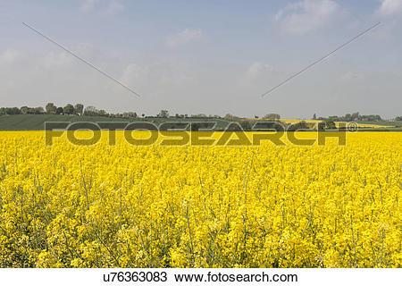 Stock Photo of Oilseed Rape plants in bloom u76363083.