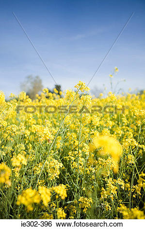 Stock Images of Oilseed rape plants in a field ie302.