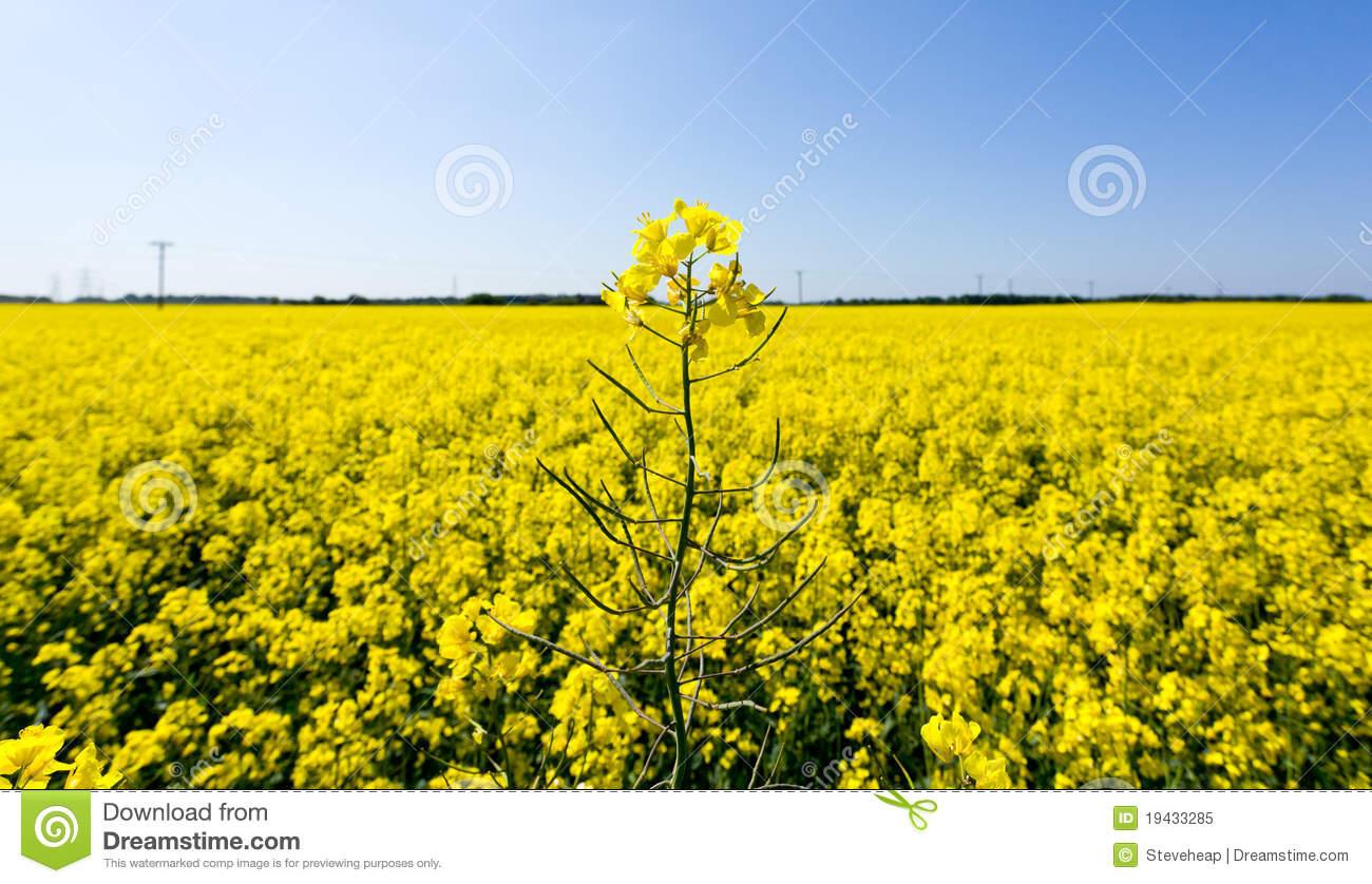 Oilseed Rape Blossoms Royalty Free Stock Photo.