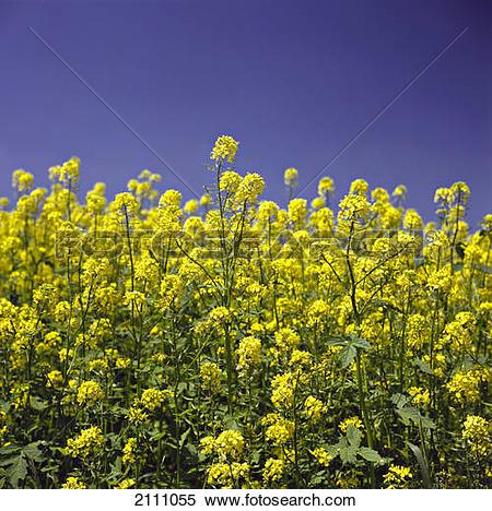 Stock Image of Oilseed rape flowers blooming in field 2111055.