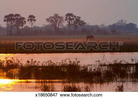 Picture of African elephant, Okavango Delta, Botswana x18650847.