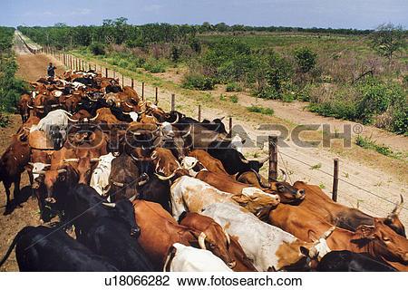 Stock Photo of Cattle drive along buffalo fence, Okavango Delta.