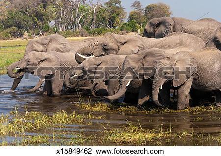 Stock Photo of African elephants, Okavango Delta, Botswana.