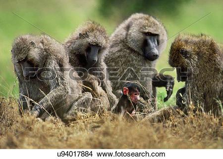 Stock Photo of Olive baboons, Papio anubis, Okavango Delta.