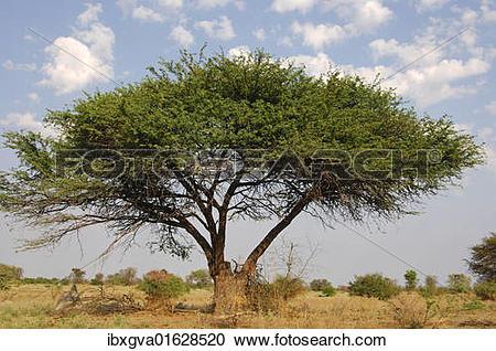 """Stock Photography of """"Umbrella Thorn Acacia (Acacia tortilis."""
