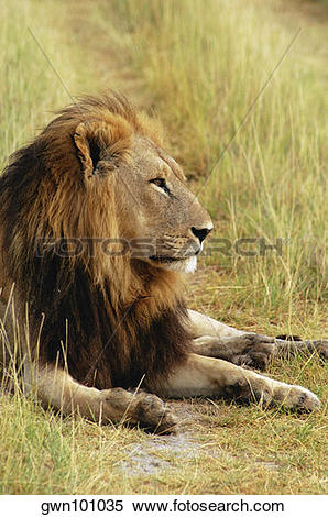 Stock Image of Lion (Panthera leo) resting in a forest, Okavango.