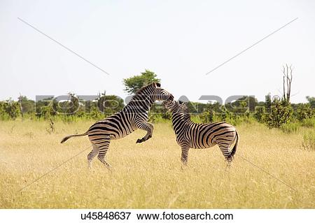 Picture of Two zebra playing, Okavango Delta, Botswana u45848637.