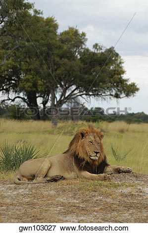 Picture of Lion (Panthera leo) sitting in a forest, Okavango Delta.