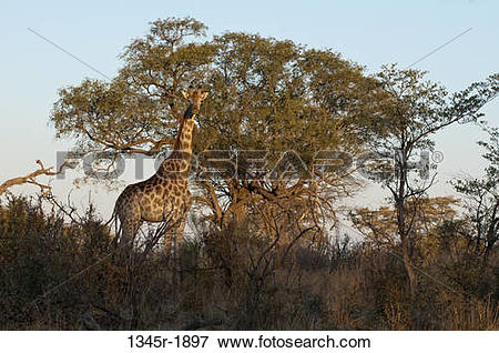Picture of Giraffe (Giraffa camelopardalis) standing in a forest.