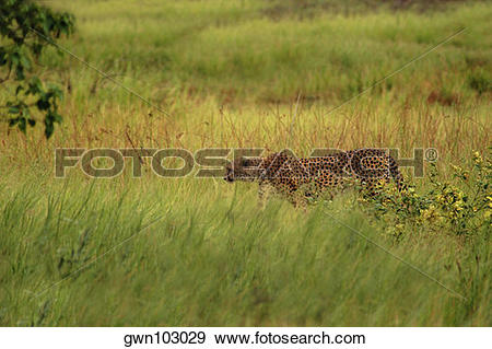 Stock Photograph of Cheetah (Acinonyx jubatus) standing in a.