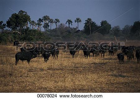 Stock Photo of African buffalo, Okavango Delta, Botswana, Africa.