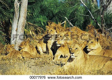 Stock Images of Pride of lions, Okavango Delta, Botswana 00077976.