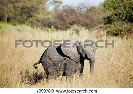 Stock Photography of Baby elephant in the Okavango Delta, Botswana.