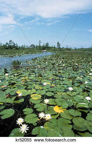 Stock Image of water lilies okefenokee swamp georgia kr52055.