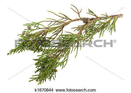 Stock Photo of twig of juniper with old berries k1670844.