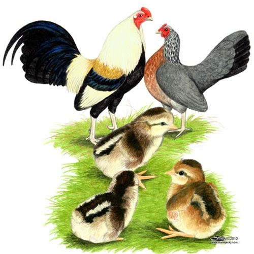 Golden Duckwing Old English Game Bantam Chickens.