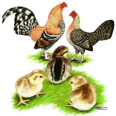 Golden Duckwing Standard Old English Game Fowl.