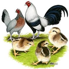 Bantam chickens, Old english and Chicken pictures on Pinterest.