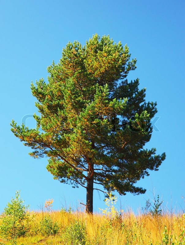 Norway Pine Clipart.