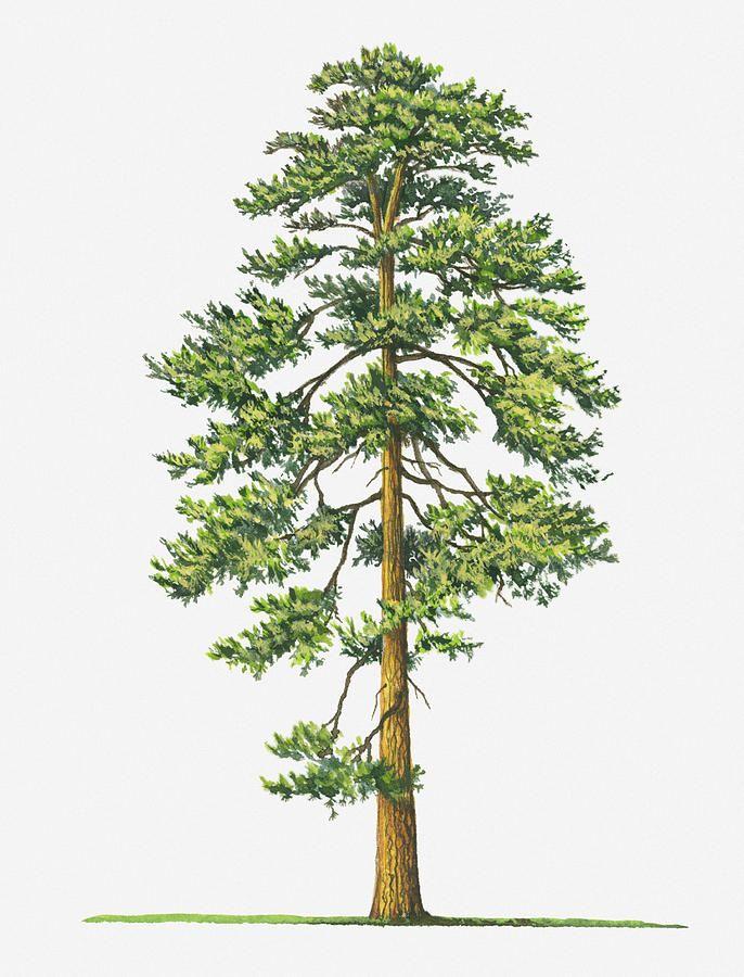 Watercolor Painting Of Eastern Red Cedar