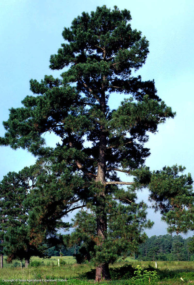 Baby pine tree clipart.