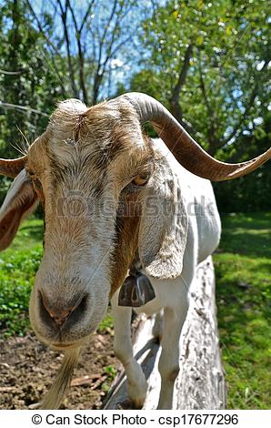 Stock Photographs of Horny Ornery Old Goat.