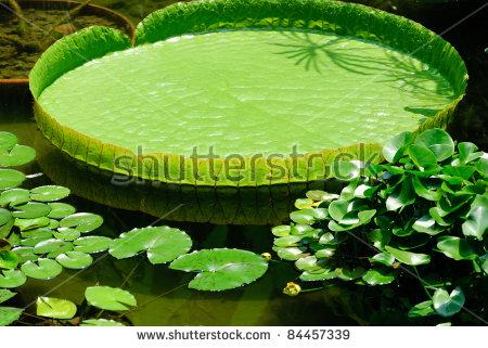 Victoria Lotus Leaf Stock Photo 84457339.