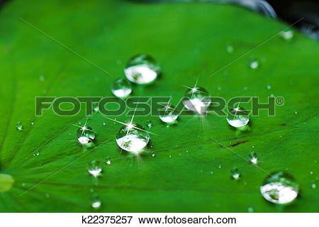 Picture of water drop on lotus leaf. k22375257.