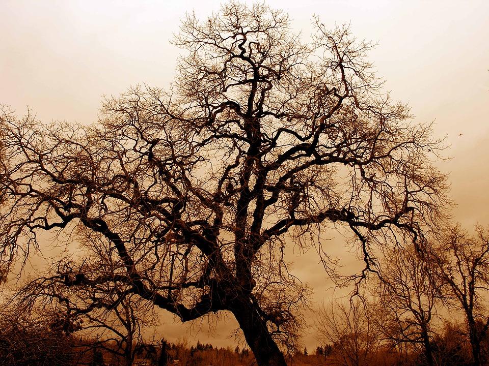 Oak, Tree.