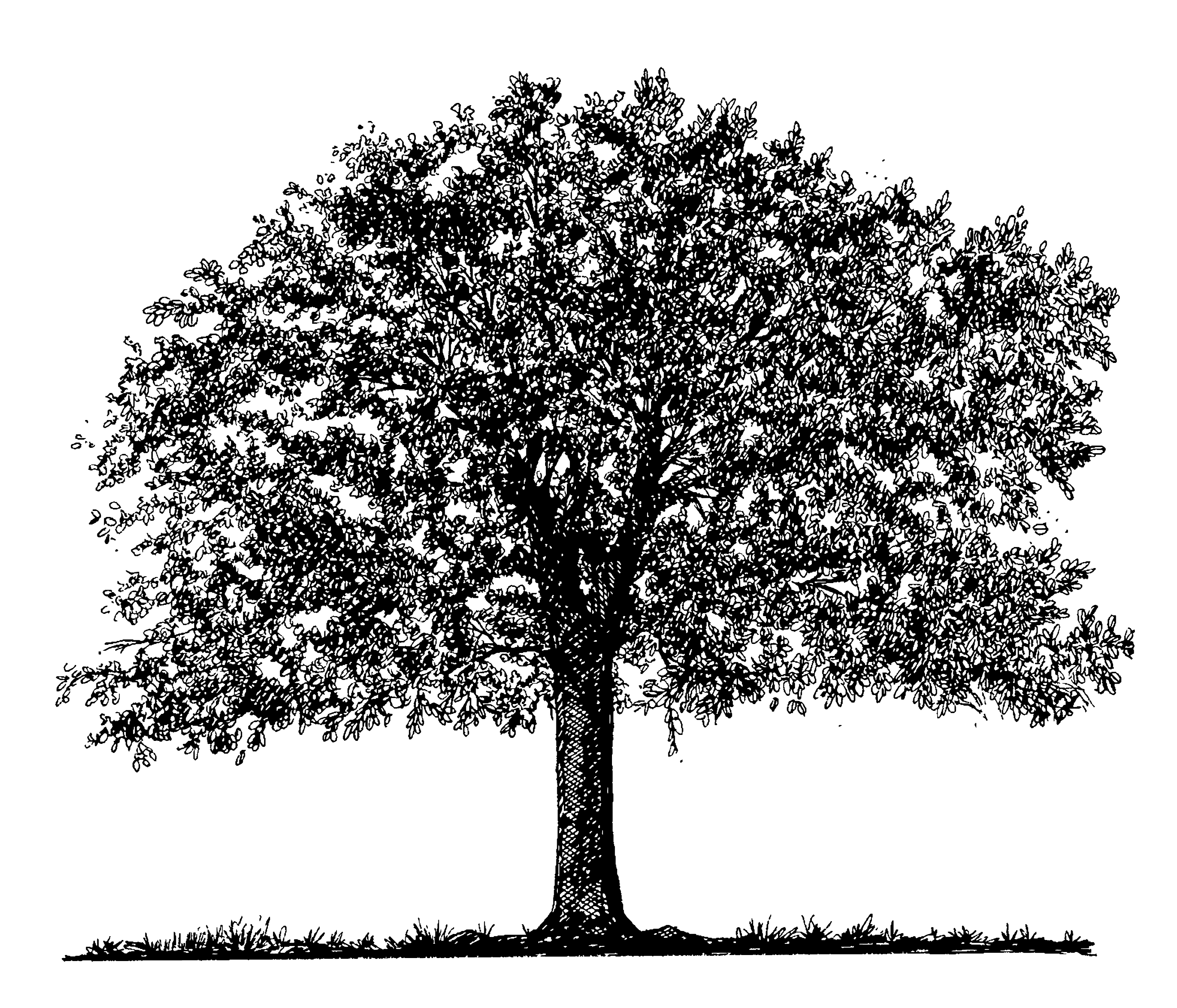 oak tree clip art black white.
