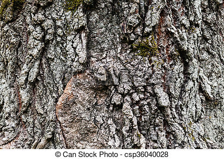 Stock Photo of cracked bark of old poplar tree.