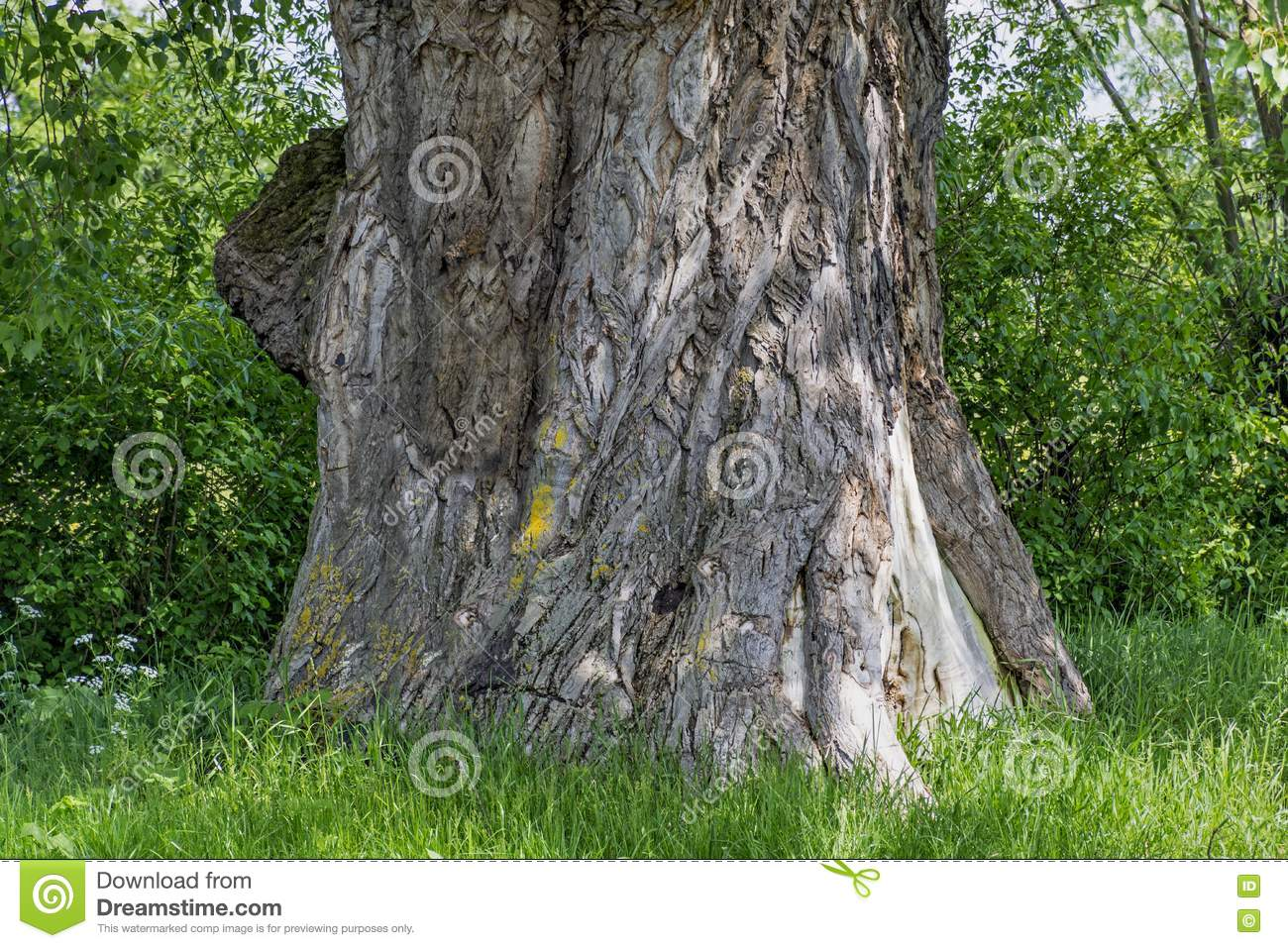 Old Poplar Tree Trunk Stock Images.