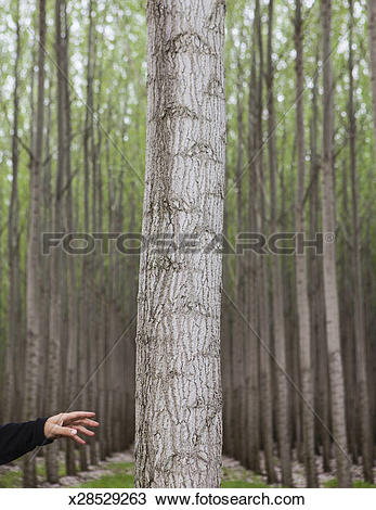 Stock Photo of A poplar tree nursery plantation, and a person.