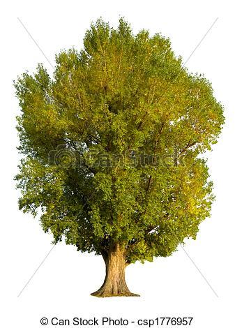 Picture of Poplar tree isolation.