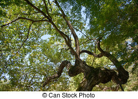 Stock Image of bough of old willow tree in autumn csp24478762.