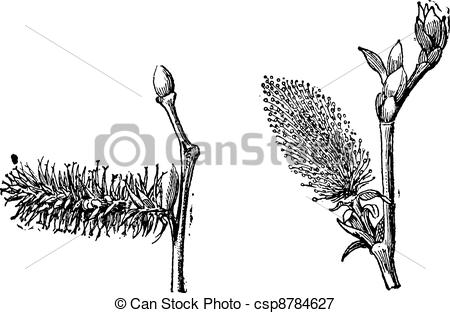 Vectors Illustration of Willow or sallow vintage engraving.