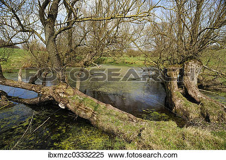 """Stock Image of """"Old willow trees (Salix) at a dead ice kettle hole."""